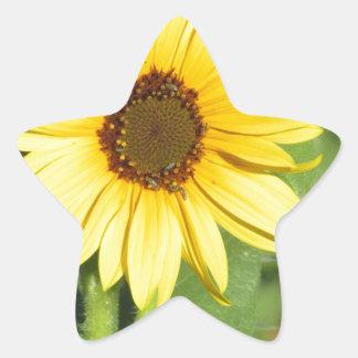 Floración salvaje miniatura del girasol pegatinas forma de estrella personalizadas