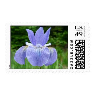 Floración siberiana de la flor del iris del añil sello postal