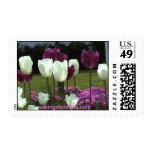 Floración tulipanes blancos y púrpuras sello