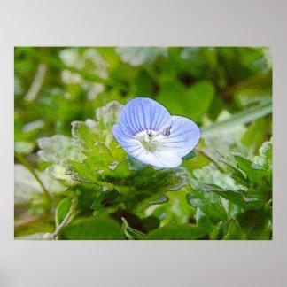 Floraciones azules del arrastramiento Speedwell Posters