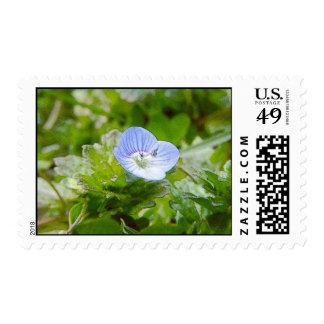 Floraciones azules del arrastramiento Speedwell Envio