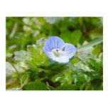 Floraciones azules del arrastramiento Speedwell Tarjetas Postales
