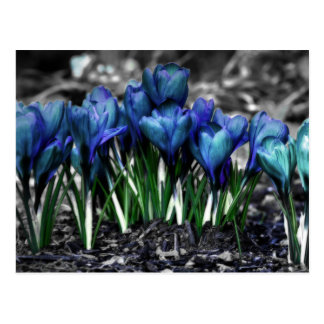 Floraciones azules del azafrán de la aguamarina postal