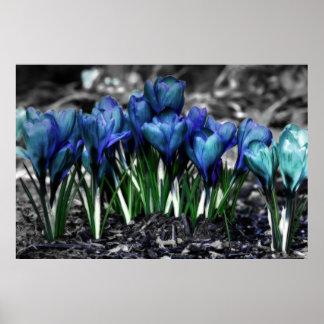 Floraciones azules del azafrán de la aguamarina póster