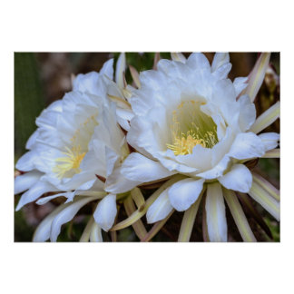 Floraciones blancas del cactus de Echinopsis - pos Poster
