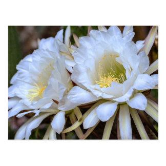 Floraciones blancas del cactus de Echinopsis - pos Postal