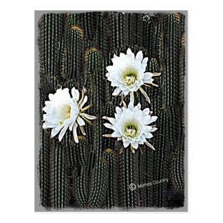Floraciones blancas del cactus postales