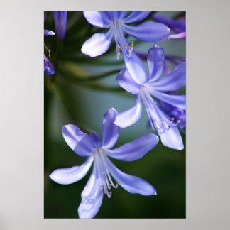 Floraciones de la flor del Agapanthus Poster