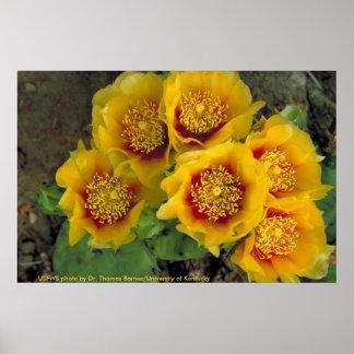 Floraciones del cactus del poster/del higo chumbo