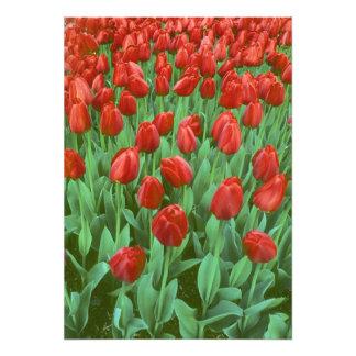 Floraciones del campo del tulipán en la primavera cojinete