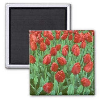Floraciones del campo del tulipán en la primavera imán cuadrado
