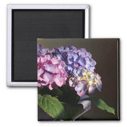 Floraciones del Hydrangea Imán