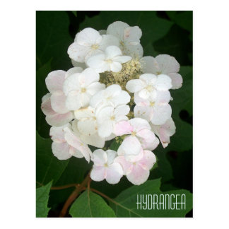 Floraciones del Hydrangea Postales