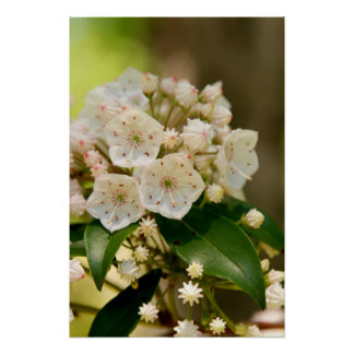 Floraciones del laurel de montaña póster
