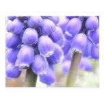 Floraciones fragantes del Muscari Tarjeta Postal