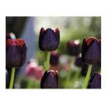 Floraciones marrón-negras aterciopeladas, tarjetas postales