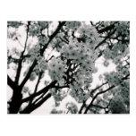 Floraciones negras y blancas postales