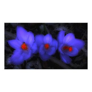 Floraciones púrpuras azules hermosas del azafrán cojinete