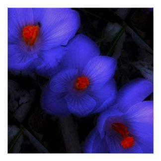 Floraciones púrpuras azules hermosas del azafrán perfect poster