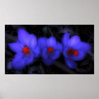 Floraciones púrpuras azules hermosas del azafrán póster