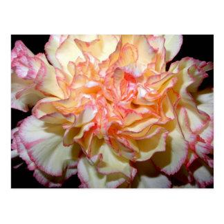Floral delicado del clavel dulce tarjetas postales