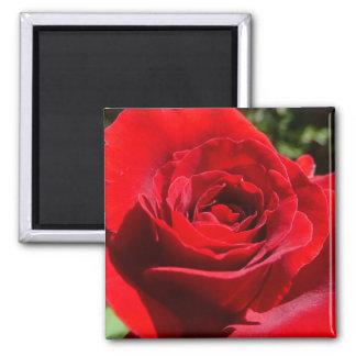 Floral hermoso de la flor brillante del rosa rojo imán cuadrado