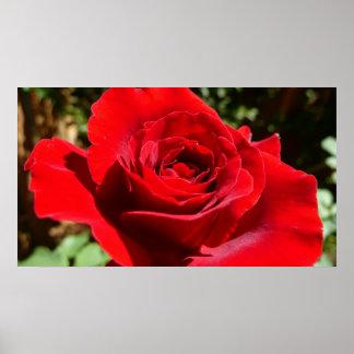 Floral hermoso de la flor brillante del rosa rojo póster