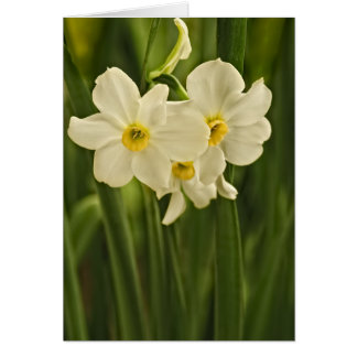 Floral Photography:  White Spring Narcissus Card