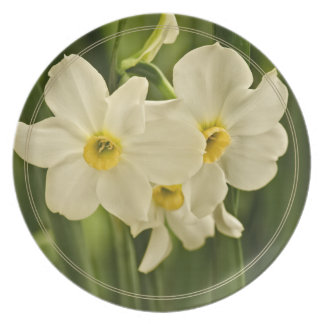 Floral Photography:  White Spring Narcissus Dinner Plate