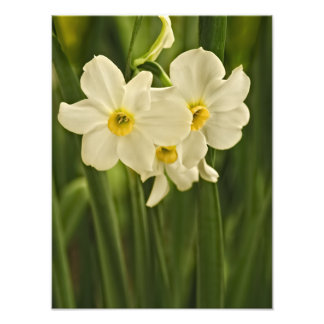 Floral Photography:  White Spring Narcissus Photo Print