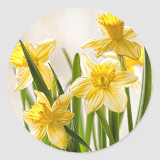 Floral Photography:  Yellow Spring Daffodils Classic Round Sticker