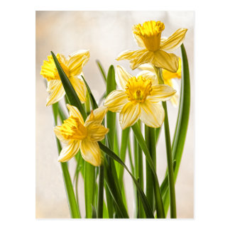 Floral Photography:  Yellow Spring Daffodils Postcard