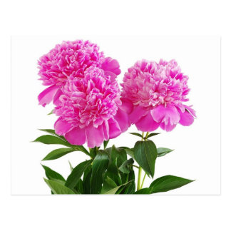 Floral Pink Peony Flower - Thank You, Hello Postcard