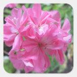 Floral rosado del geranio colcomanias cuadradas personalizadas