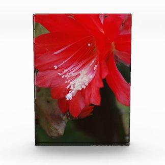 Florecimiento rojo del cactus