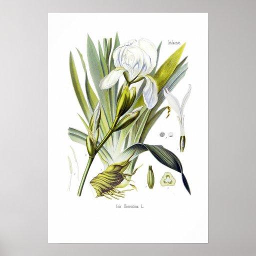 Florentina del iris póster