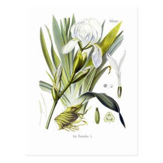 Florentina del iris tarjeta postal
