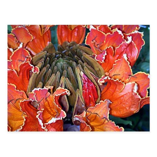 Flores africanos del árbol de tulipán postal
