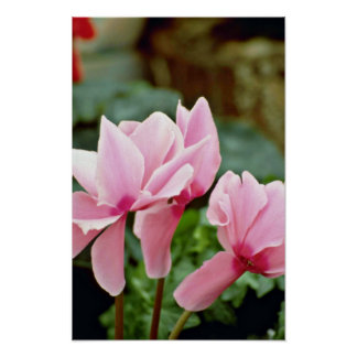 Flores al revés rosadas de las flores póster