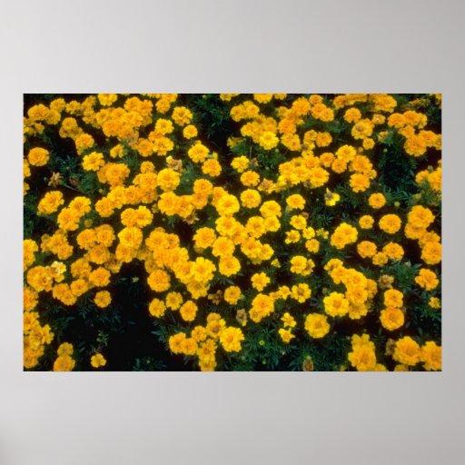 flores amarillas amarillas de las maravillas póster