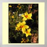 Flores amarillas. Bidens. En la crema Posters