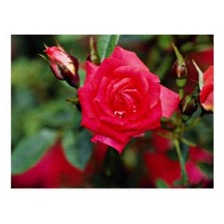 Flores amarillas color de rosa miniatura de Starin Postal