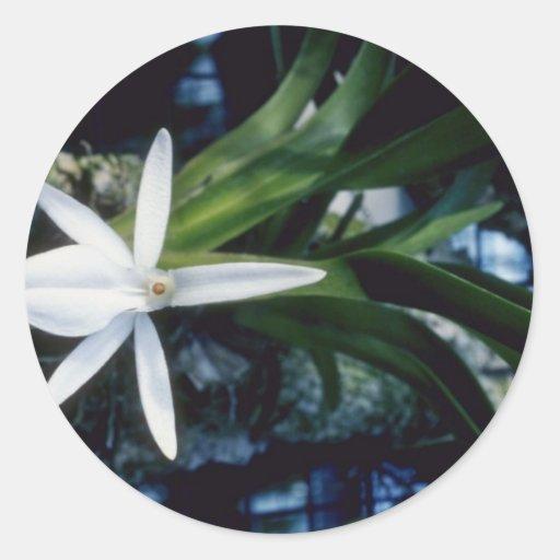 Flores amarillas de Gracilipe (Angraecum) Pegatina Redonda