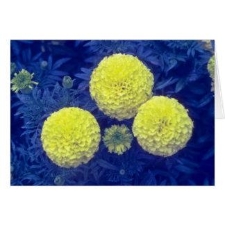 flores amarillas de la maravilla africana (Tagetes Tarjeta De Felicitación