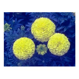 flores amarillas de la maravilla africana (Tagetes Postales