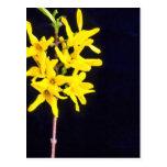 Flores amarillas de la ramita del Forsythia Tarjetas Postales