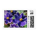 Flores amarillas de la violeta africana franqueo