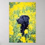 flores amarillas de Labrador Impresiones