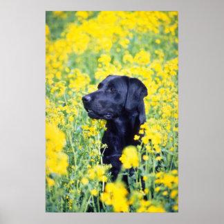flores amarillas de Labrador Póster