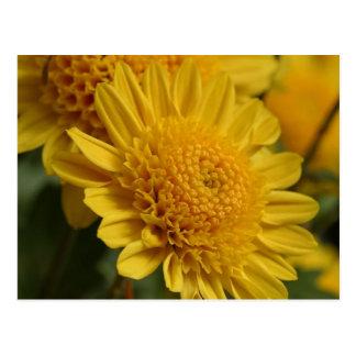 Flores amarillas de las momias postales